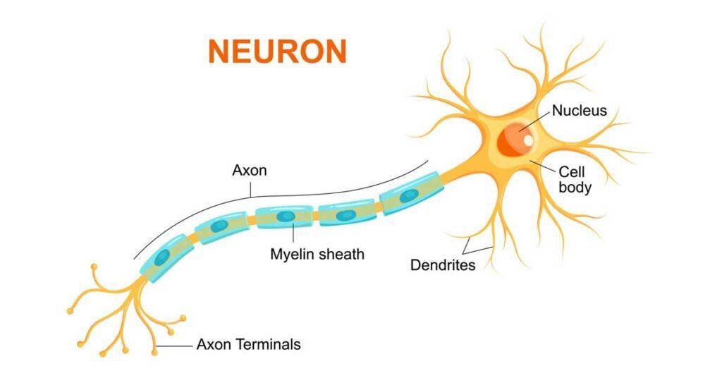 Brain injury damages neurons